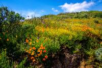 Beautiful Hillside Wildflowers Diamond Valley Lake