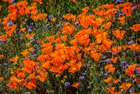 Bright And Beautiful Poppies -  2019 Superbloom
