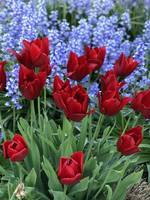 Deep-Red Tulips