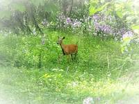 Wisconsin Whimsy - Deer in the Phlox