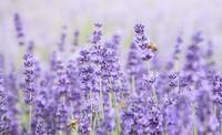 LAVENDER HONEY FACTORY