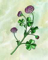Botanical Watercolor Of Lucky Clover Wildflower