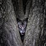 wolf encounter Prints & Posters