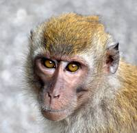 Macaque monkey portrait staring at the camera