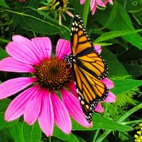 Monarch on Cone flower Art Prints & Posters by Pat Cook