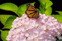 Monarchs in Flower Garden