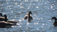 Geese in sparkling water
