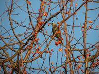 Green starling in crab apple branches