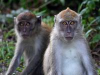 Two young macaque monkeys staring at the camera