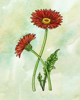 Botanical Watercolor Gerbera Flower