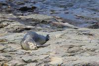 Baby Harbor Seal, Bar Harbor, Maine