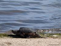 Snapping Turtle Entering the Chesapeake Bay