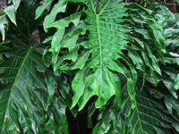 Philodendron Leaves Nice and Green