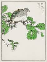 Barbary Dove and Oak Tree by Numata Kashu