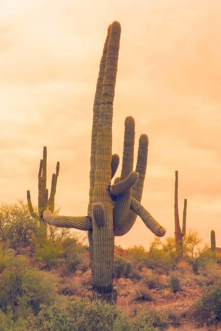 Classic Arizona Giant Saguaro