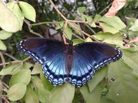 Red-spotted Purple Butterfly (Limenitis arthemis a