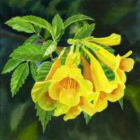 Yellow trumpet Flowers with Dark Background 2 Art Prints & Posters by Sharon Freeman