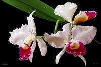 F131-1 Captivating Cattleya