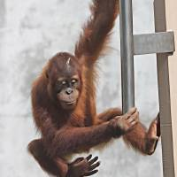 Baby Orangutan Climb by Through The Split Window