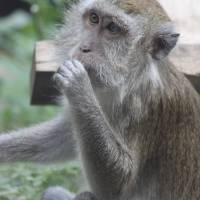 Macaque by Through The Split Window
