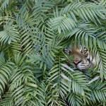 Tiger-Jungle Prints & Posters
