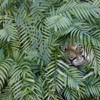 Tiger-Jungle Art Prints & Posters by John Lund