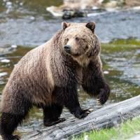 Bear Necessities Art Prints & Posters by RH Miller