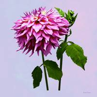 One Pink Dahlia and Buds