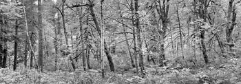 Black & White Forest Panorama