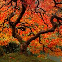 Autumn Maple Art Prints & Posters by Don Schwartz