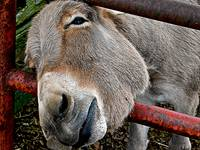 Horace, The Donkey