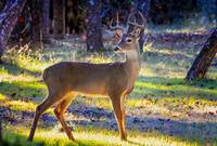Majestic White Tail Buck in the Morning Light