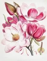 Campbell's Magnolia Lithograph