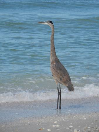 Great Blue Heron on Beach