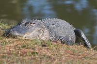 Gator of Hilton Head Island 01