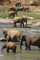Sri Lankan elephants 1