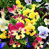Flat of Pansies Mixed Colors