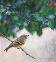 ruby kinglet portrait in crabapple tree