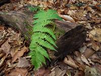 Fern Frond on Log
