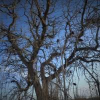 Sleeping Oak_1025209 by Richard Thomas