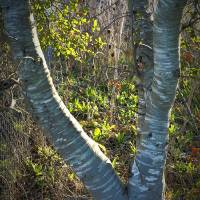 Tree Yoke_1025259 by Richard Thomas
