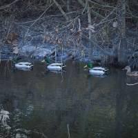 Duck Line_1025229 by Richard Thomas