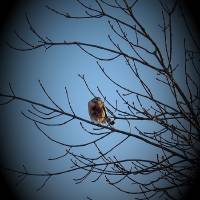 Red Shouldered Hawk_1025280 by Richard Thomas