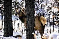 Elk In Forest