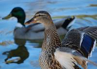 Blue Tinged Ducks