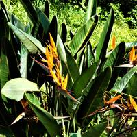 Bird of Paradise Hawaii