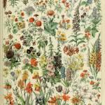 """Adolphe Millot fleurs A Vintage Botanical"" by FineArtClassics"