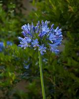 The Blue Bloom by Kirt Tisdale