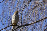Hawk in Weeping Cherry Tree