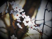 Cherry Tree Blossoms_2225910